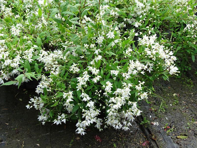 P pini res roulleau votre conseil en jardinage - Arbuste fleur rouge printemps ...